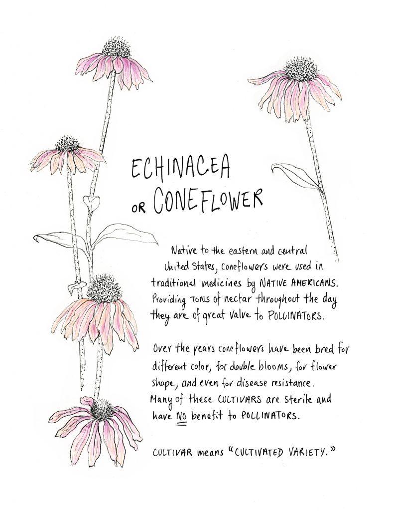Echinacea or Coneflower